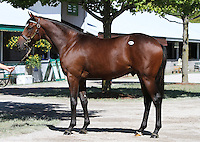 Hip #74 A.P. Indy - Coral Sea colt consigned  by Lane's End at the Keeneland September Yearling Sale.  September 10, 2012.
