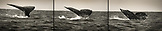 MEXICO, Baja, Magdalena Bay, Pacific Ocean, the tail of a grey whale seen while out whale watching in the bay