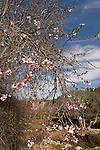 Israel, Jerusalem Mountains. Almond tree in Ein Kobi