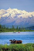 Kayakers paddle in Wonder Lake, Bull moose feeds on vegetation, Alaska mountains in the distance, Denali National Park, Alaska