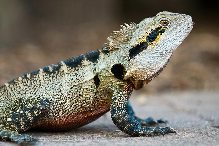 Eastern Water Dragon (Intellagama lesueurii lesueurii) Australia Zoo, Queensland