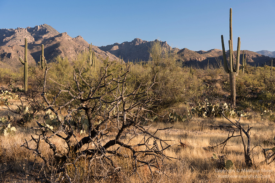 Sabino Canyon Recreation Area, Tucson, Arizona; early morning sunlight on the desert landscape with creosote bushes, saguaro cactus, palo verde and other succulents