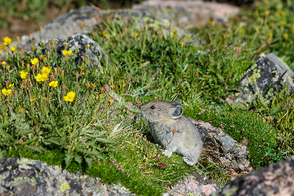 Young American pika (Ochotona princeps) eating a cinquefoil flowers.  Beartooth Mountains, Wyoming/Montana border.  Summer.  This photo was taken in alpine setting at around 11,000 feet (3350 meters) elevation.