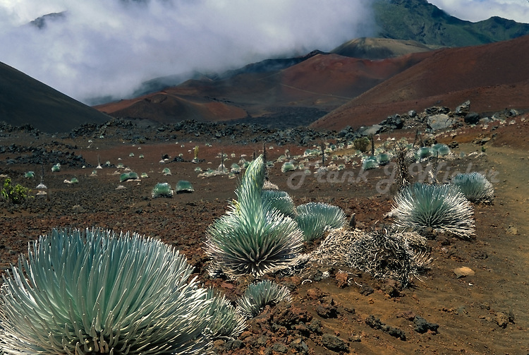 Field of Silversword plants in the crater of HALEAKALA NATIONAL PARK on Maui in Hawaii