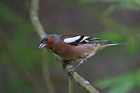 Buchfink, Männchen, Fringilla coelebs, Chaffinch, Pinson des arbres