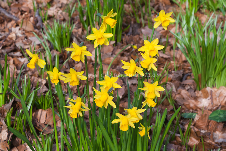 Narcissus 'Tete a Tete' (only one flower per stem) in early spring blooming bulbs miniature dwarf yellow daffodils. March blooming