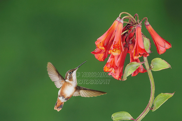 White-bellied Woodstar (Chaetocercus mulsant), female feeding on Bomarea flower,Papallacta, Ecuador, Andes, South America