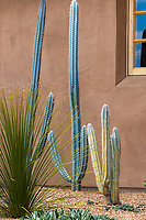 Silver blue cactus = ?; Drought tolerant cactus and succulents in Schaff Garden