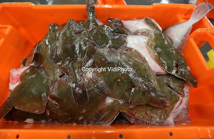 VidiPhoto<br /> <br /> URK - Het gaat goed met de schol in de Noordzee, dus ook met de Visveiling Urk. Nog nooit eerder is er door biologen zoveel schol aangetroffen in de viswateren als dit jaar. Naar verwachting zal het Nederlandse visquotum in 2014 dan ook met 15 procent toenemen. Dat heeft veilingdirecteur Teun Visser maandag bekend gemaakt. De aanvoer van schol op Urk stijgt dit jaar naar 35 miljoen kilo. Ook dat is een record. Bijkomend voordeel voor de consument is dat de schol nog goedkoper wordt. Visveiling Urk is de grootste scholvermarkter ter wereld.