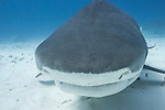 Tiger Beach, Grand Bahama Island, Bahamas; a large, female tiger shark swimming just above sandy bottom and directly into my camera lens