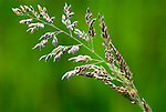 Creeping Bent, Agrostis stolonifera, Stodmarsh, Kent, purplish flowered spikelets against green background, grass, .United Kingdom....