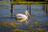 Foraging for food, an American white pelican explores the waters of a neighborhood park intended to accommodate native and migrating birds.  San Lorenzo Park, The Duck Pond, near San Francisco Bay.