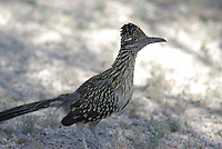 Greater Roadrunner seen in southern Arizona.