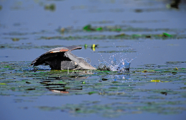 Great Blue Heron fishing for brown catfish/bullhead. Predator/prey. Spring. Series 2/6. British Columbia, Canada. (Ardea herodias).