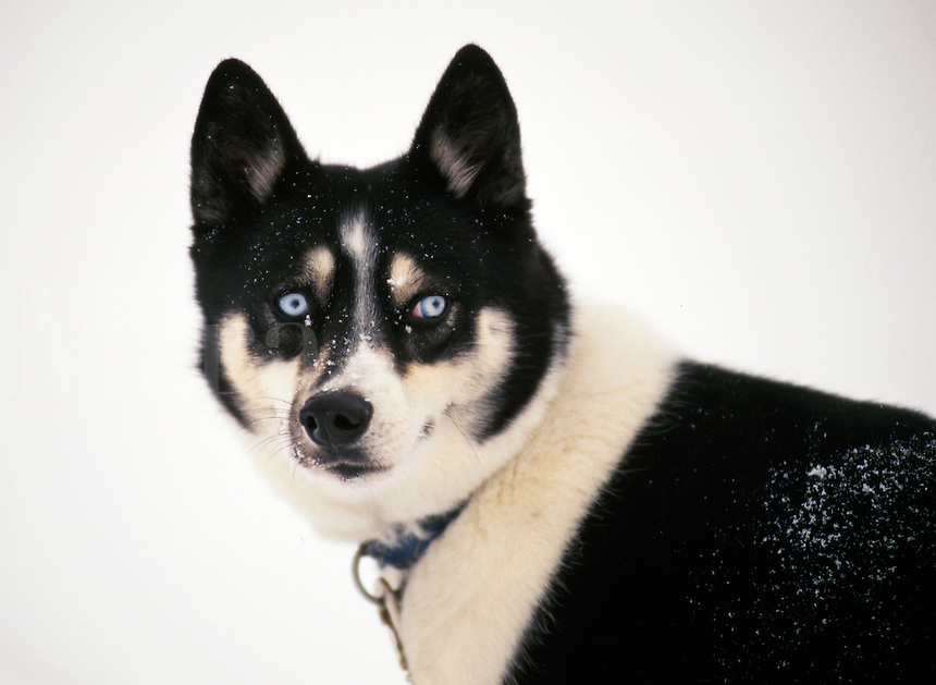Portrait of a mixed breed dog with blue eyes.