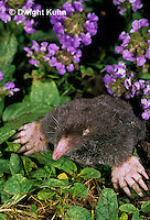 MB25-004z  Hairy-tailed Mole - digging - Parascalops breweri