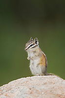 Uinta Chipmunk, Tamias umbrinus,adult standing on rock, Rocky Mountain National Park, Colorado, USA, June 2007