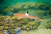 blacktip reef shark, Carcharhinus melanopterus, juvenile, Oahu, Hawaii, USA, Pacific Ocean (c)