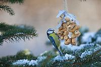Blaumeise, an Erdnusskette, Erdnüsse, Erdnusskette, Erdnussring, Erdnuß, selbstgemachtes Vogelfutter, Winter, Schnee, Blau-Meise, Meise, Meisen, Cyanistes caeruleus, Parus caeruleus, blue tit, bird's feeding, snow, La Mésange bleue