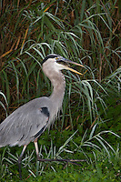 Great Blue Heron eating a fish, Everglades National Park, FL