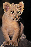 656259167 A young African lion cub, panthera leo, pricks up his huge ears to listen for noises as he sits on a small stump. Animal is a captive wildlife rescue