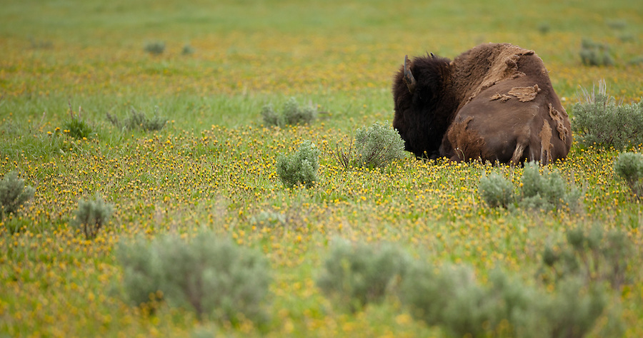 Bison rest in a field of flowers.