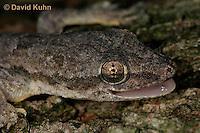 0507-08ss  Flat-tailed House Gecko, Vocalization by Barking, Cosymbotus platyurus © David Kuhn/Dwight Kuhn Photography