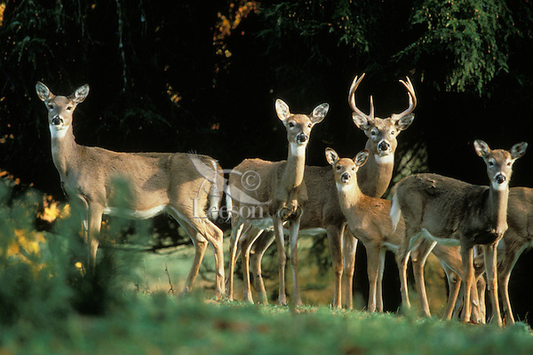 White-tailed deer herd