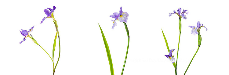 30099-00201 Blue Flag Iris (Iris versicolor) with white background, Marion Co., IL