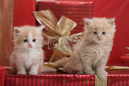 THREE 6 WEEK OLD LONG HAIRED WHITE GINGER KITTENS WITH CHRISTMAS PRESENTS