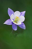 Blue Columbine,Colorado Columbine,Aquilegia coerulea, Ouray, San Juan Mountains, Rocky Mountains, Colorado, USA