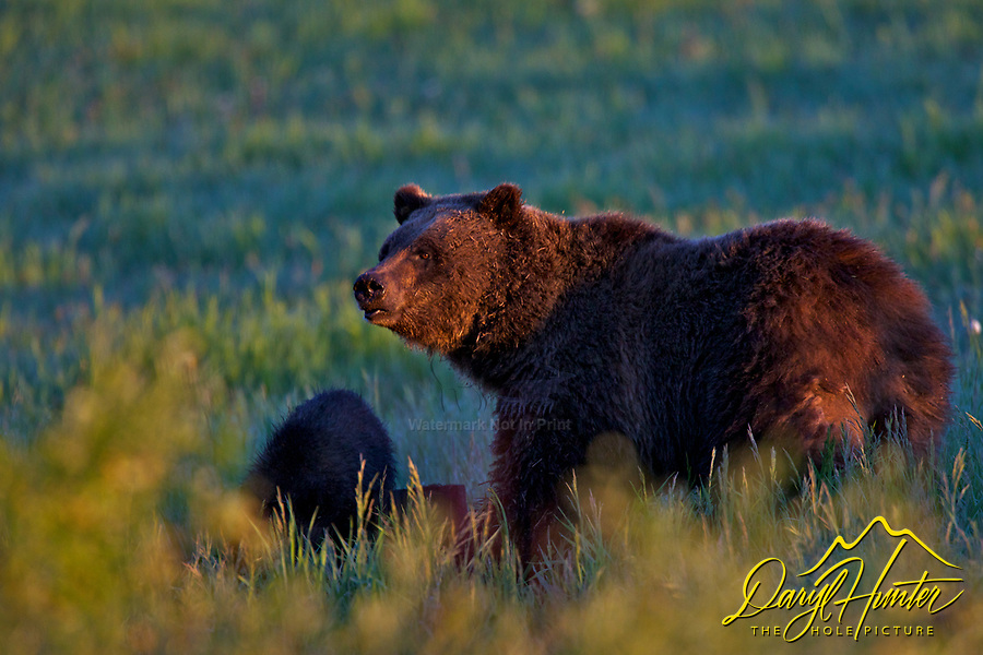 Grizzly Sow Morning sun, Grand Teton National Park.  Grizzly Bear 610.