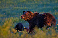 Grizzly Sow Morning sun, Grand Teton National Park.  Grizzly Bear 610.<br />