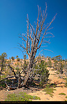 Tree Skeleton, Cassidy Trail, Red Canyon, Dixie National Forest, Utah