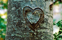 Heart carved into a beech tree some time ago, now growing into the bark of the tree as a characteristic scar.