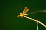 Yellow Dragonfly, Mexican Amberwing, Perithemis intensa, Southern California