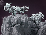 Pines in Red Canyon, Utah (Infrared)