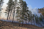 Prescribed fire in ponderosa pine forest in fall, on Sinlahekin Wildlife Area in Okanogan County, WA..Treatment unit is Conner 5, which had been logged and thinned in winter prior.