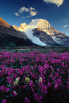 Mount Robson with Dwarf Fireweed, Canadian Rockies.  Standing at 3,954 meters, this is the highest peak in the Canadian Rockies and, by far, one of the most impressive.