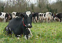 Holstein dairy cow lying down in a field, Shropshire.