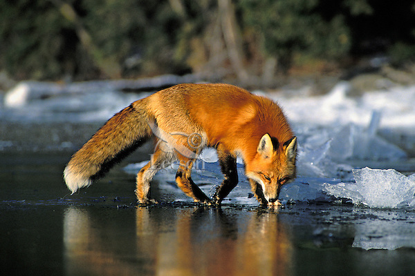 Red fox (Vulpes vulpes) reflecting in ice on frozen lake.  winter.