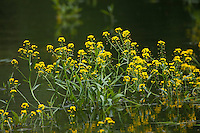 Wasser-Sumpfkresse, Ufer-Sumpfkresse, Wasserkresse, Wassersumpfkresse, Teichkresse, Rorippa amphibia, syn. Nasturtium amphibium, great yellowcress, yellow-cress, yellow cress, amphibious watercress, amphibious yellowcress, Marsh yellow cress