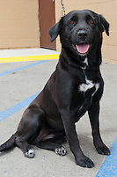 A female black labrador retriever.