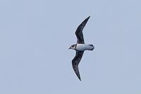 Soft-plumaged Petrel in flight