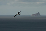 flying frigate bird in front of kickerrock (leon dormido) close to san cristobal galapagos ecuador