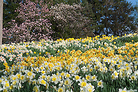 Spring flowering bulbs in masses - daffodil Narcissus with many blooms naturalized in garden planting, with Saucer Magnolia and Star Magnolia flowering trees and blue sky