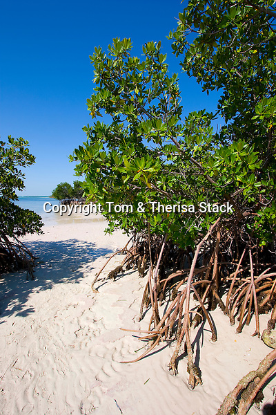 Red Mangrove, Rhizophora mangle, Biscayne National Park, Florida