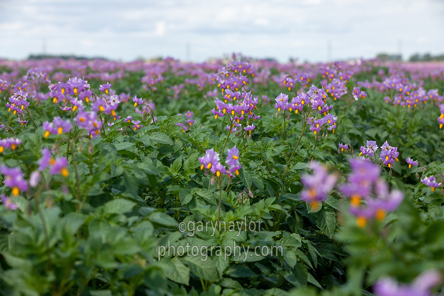 Maris Piper potatoes in flower, Lincolnshire, July