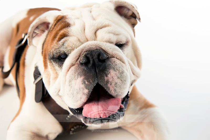 Members of the Mississippi State Bulldog family are mourning the loss of Bully XX, affectionately referred to as &ldquo;Champ,&rdquo; the American Kennel Club-registered English bulldog who served as the university&rsquo;s mascot from 2009-15. During Super Bulldog Weekend 2015, Champ passed the official mascot harness and duties to his son, Jak, named in honor of the late legendary &quot;Voice of the Bulldogs&quot; Jack Cristil.<br />  (photo by Beth Wynn / &copy; Mississippi State University)
