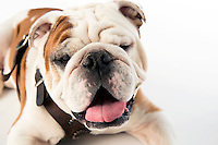 Members of the Mississippi State Bulldog family are mourning the loss of Bully XX, affectionately referred to as &ldquo;Champ,&rdquo; the American Kennel Club-registered English bulldog who served as the university&rsquo;s mascot from 2009-15. During Super Bulldog Weekend 2015, Champ passed the official mascot harness and duties to his son, Jak, named in honor of the late legendary &quot;Voice of the Bulldogs&quot; Jack Cristil.<br />